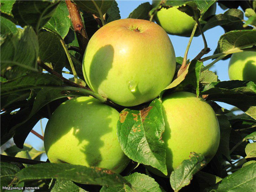 Уход за яблоней весной и летом